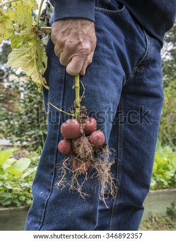 Man holding bunch of red potatoes still on the stem that he just pulled out of the ground. These were grown from old potato peelings and eyes just thrown into the garden!