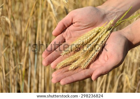 Man holding ears of wheat on a background a wheat field
