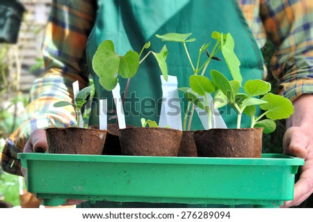 man holding seedlings in  growing pots in garden  - stock photo