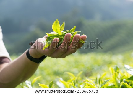 Man holding tea leaves in tea Plantation in the Cameron Highlands, Malaysia - stock photo