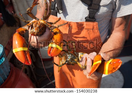 Man holding two yellow banded lobsters, Maine, USA - stock photo