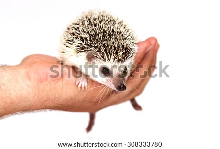 Man holds in his hand beautiful young and curious pet african pygmy hedgehog baby in white background - stock photo
