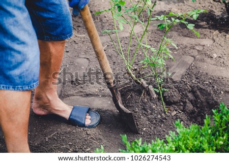 man in blue gloves and slippers digs a rose bush with a shovel close-up