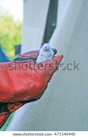 Man in leather gloves holding white mouse