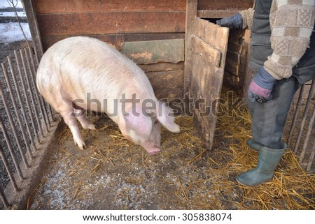 man in the cage of a pig, wants to feed him. Rural scene - stock photo