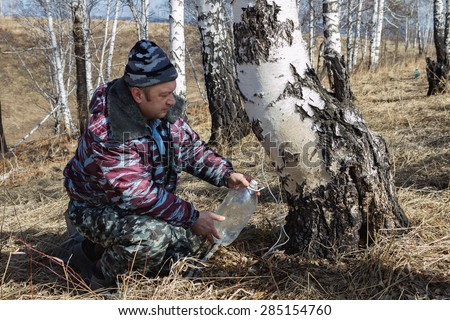 man in the wood gathers birch sap