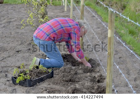 Man is planting seedlings in the soil of his allotment and under a fence of barbed wire - stock photo