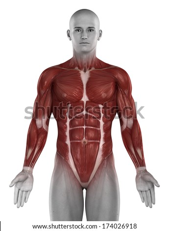 Man muscle anatomy isolated - stock photo