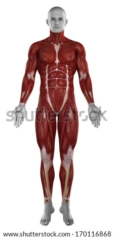 Man muscles anatomy isolated  anterior view - stock photo