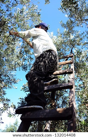 man on ladder in order to picking fruit from tree - stock photo