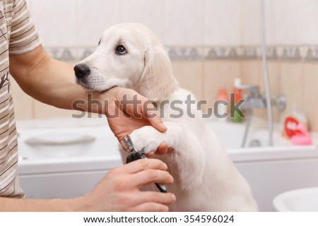 Man owner is making manicure of retriever puppy after shower - stock photo