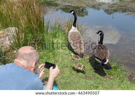 Man photographing a family of geese beside a pond, he is very close