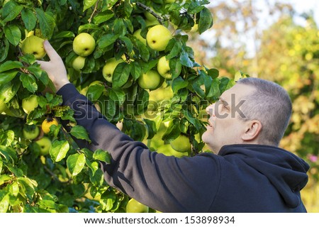 Man picking apples in garden - stock photo