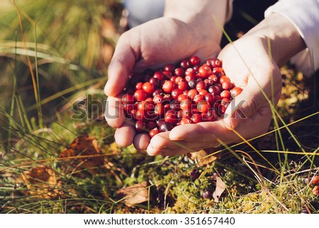 Man picking berries in the woods. He carried a handful of red cranberries. Vintage colours