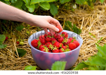 Man picking fresh strawberries on a strawberry field