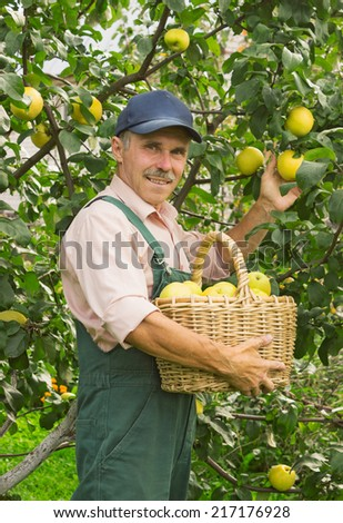 Man picks the ripe apples in his garden in September - stock photo