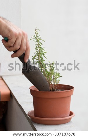 Man planting rosemary on  a plastic pot