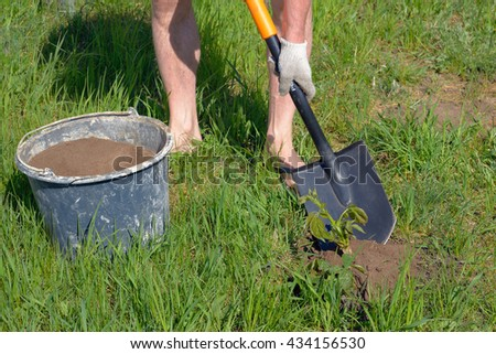 Man planting seedlings of blackberries with a shovel