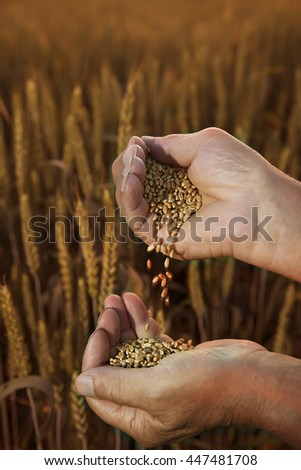 man pours wheat from hand to hand on the background of a wheat field - stock photo