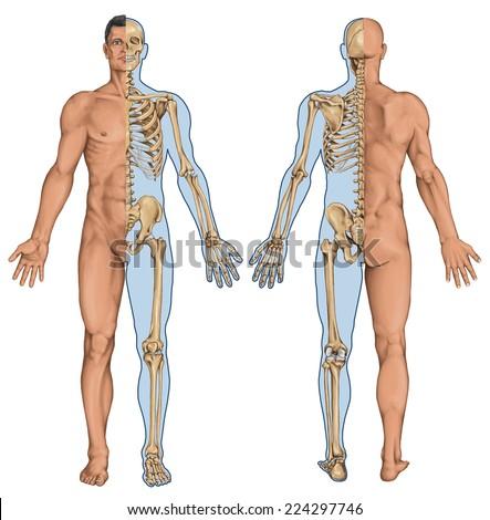 Mans Anatomical Body Human Skeleton Anatomy Stock Illustration