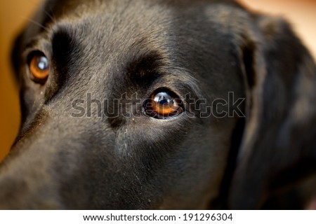 Man's best friend Close-up picture of a black lab looking affectionately at it's owner.   - stock photo