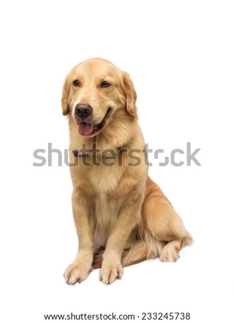 man's best friend golden retriever isolated in white background with clipping path - stock photo