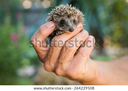Man's hand holding a little hedgehog - stock photo