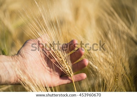 Man's hand holding barley. Agriculture. Sunset.