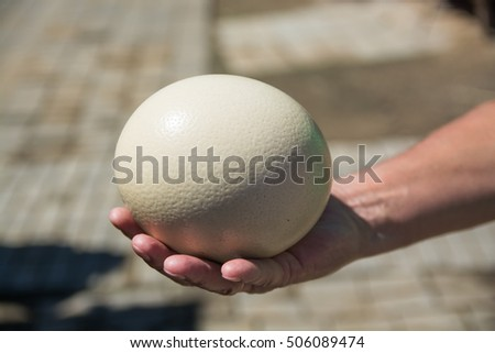 Man's hand  holding up ostrich egg. Ellowish egg with porous surface.