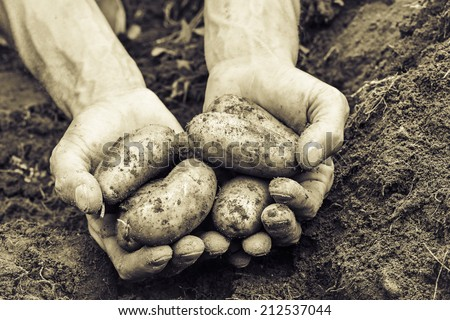 man's hands holding fresh organic potatoes vintage - stock photo