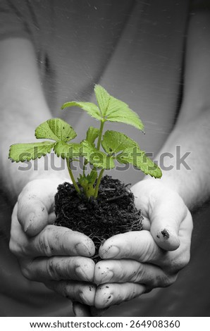 Man's hands holding strawberry seedling in dirt - stock photo