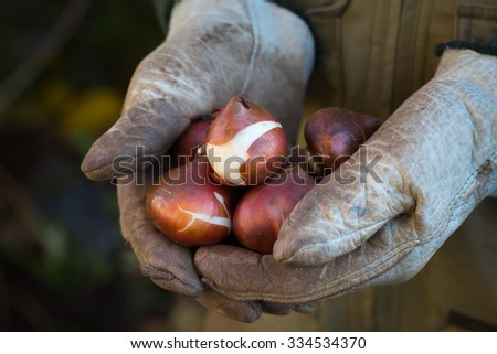 Man's hands in leather gloves holding tulip bulbs.