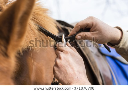 Man saddling a horse and tighten the girth. Foreground. - stock photo