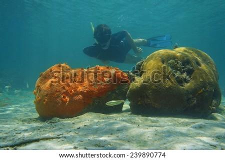 Man snorkeling underwater behind red encrusting sponge and brain coral, Caribbean sea - stock photo