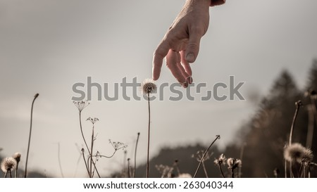 Man stretching down his hand and gently touching a delicate dandelion clock on a misty grey day with sunlight back lighting his hand, conceptual image. - stock photo