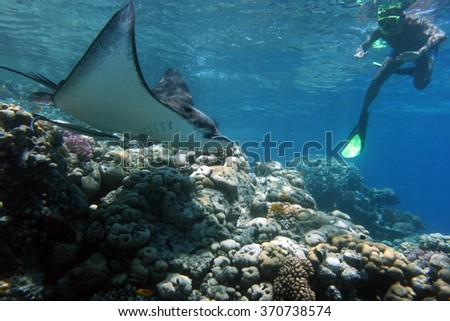 Man swimming under water with fish manta in Egypt in the Red Sea - stock photo