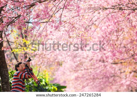 man taking photo under pink Sakura blossom trees. - stock photo