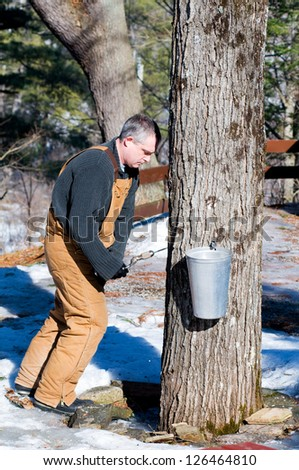 man taps a maple tree to make syrup - stock photo