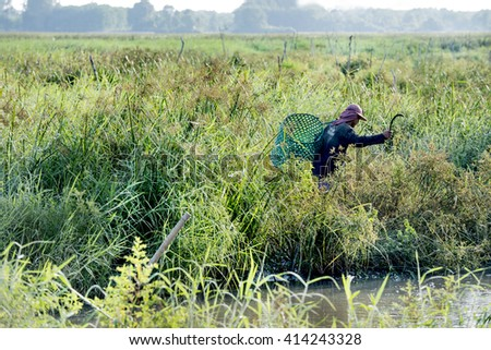 Man use sickle cutting grasses and weeds in the wetland for the cattle.