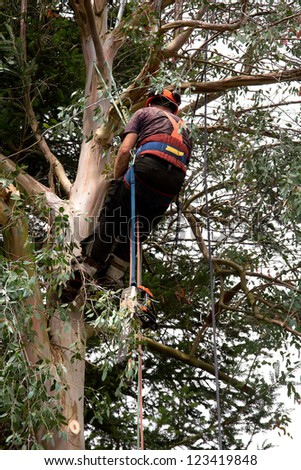 Man using a system of ropes to climb a eucalyptus tree with chainsaw - stock photo
