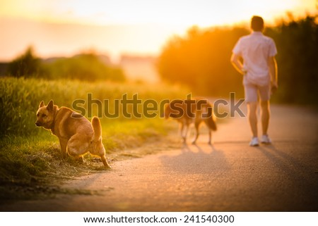 Man walking his two dogs in evening sunlight - stock photo