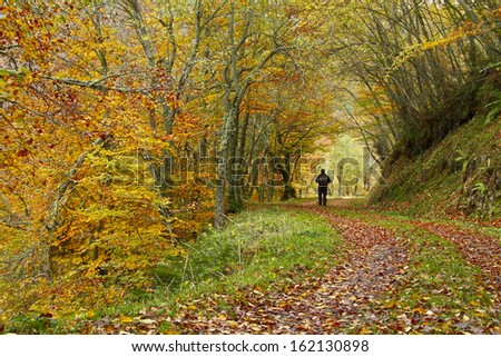 Man walking in autumnal beech forest