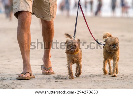 Man walking on the beach with two funny small dogs - stock photo