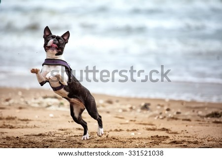 Man with Boston Terrier at the sandy beach in Normandy France - stock photo