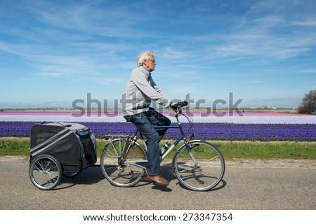 Man with doggy ride on bike in Dutch flower bulbs fields - stock photo