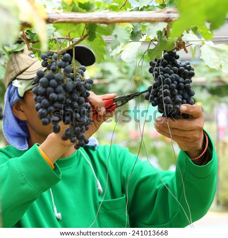 man worker picking grape during harvest - stock photo