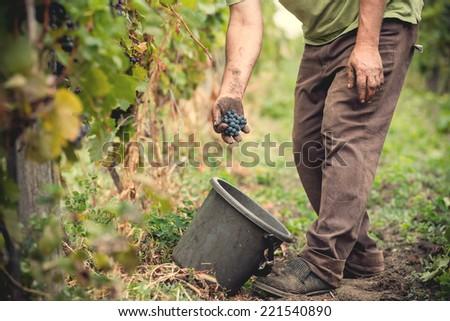 man working in a vineyard - stock photo