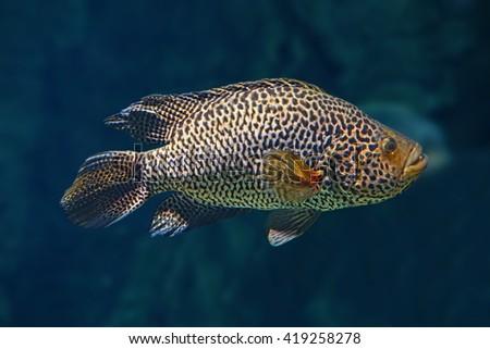 Managuense cichlid or Jaguar in the aquarium - stock photo