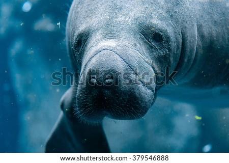 manatee close up portrait underwater - stock photo