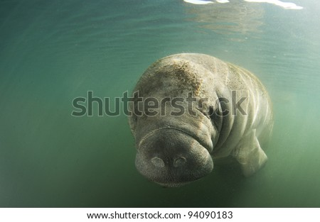 manatee in freshwater with green background